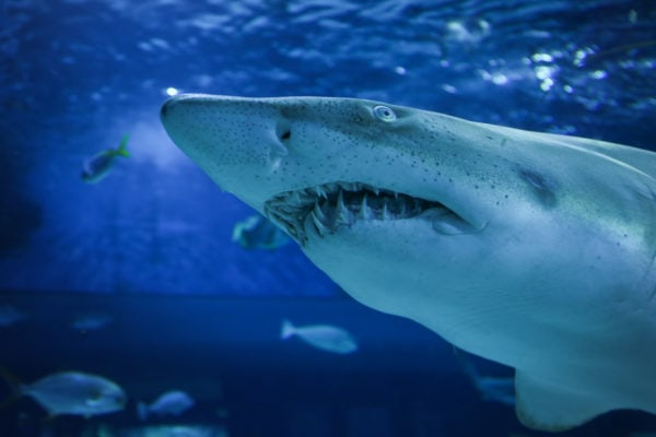 bigstock-Big-shark-in-the-oceanarium-136214063-1-600x400 chicago patent attorney & lawyer